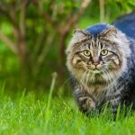 Are Maine Coon Cats Hypoallergenic?