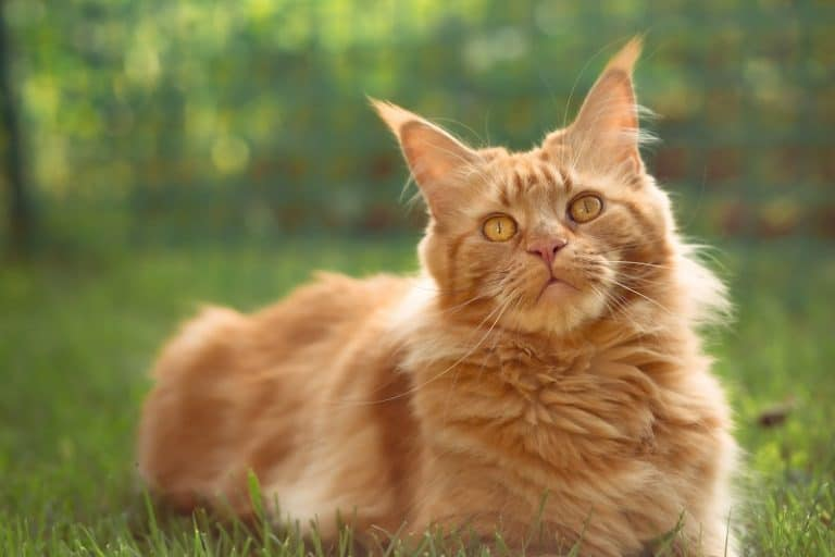 Are all Maine Coons Long-haired?