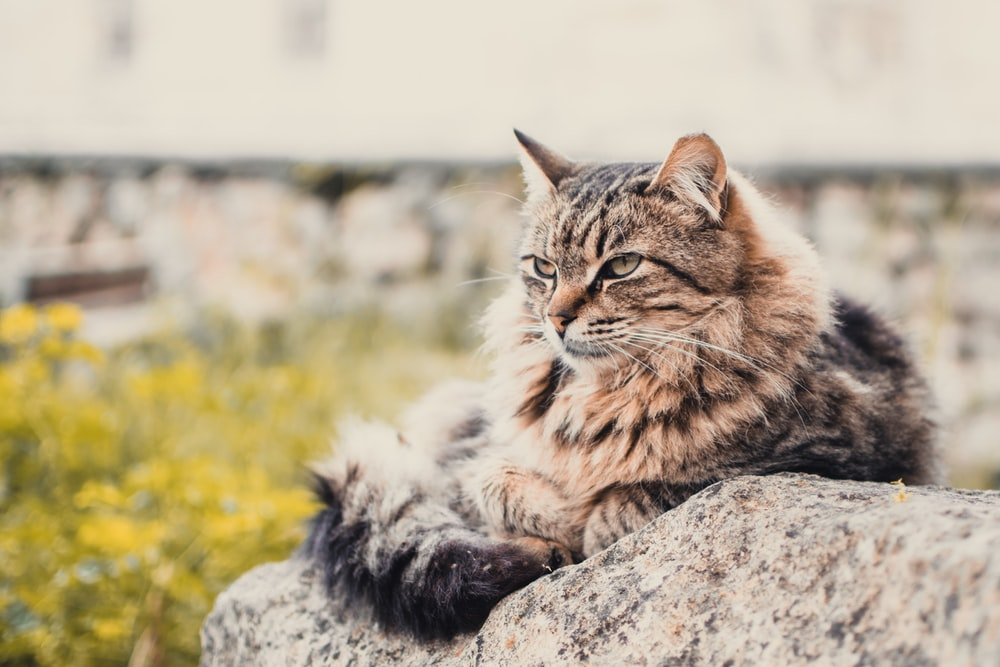 Brown Maine Coon