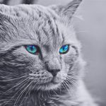 Can Maine Coon Cats Have Blue Eyes