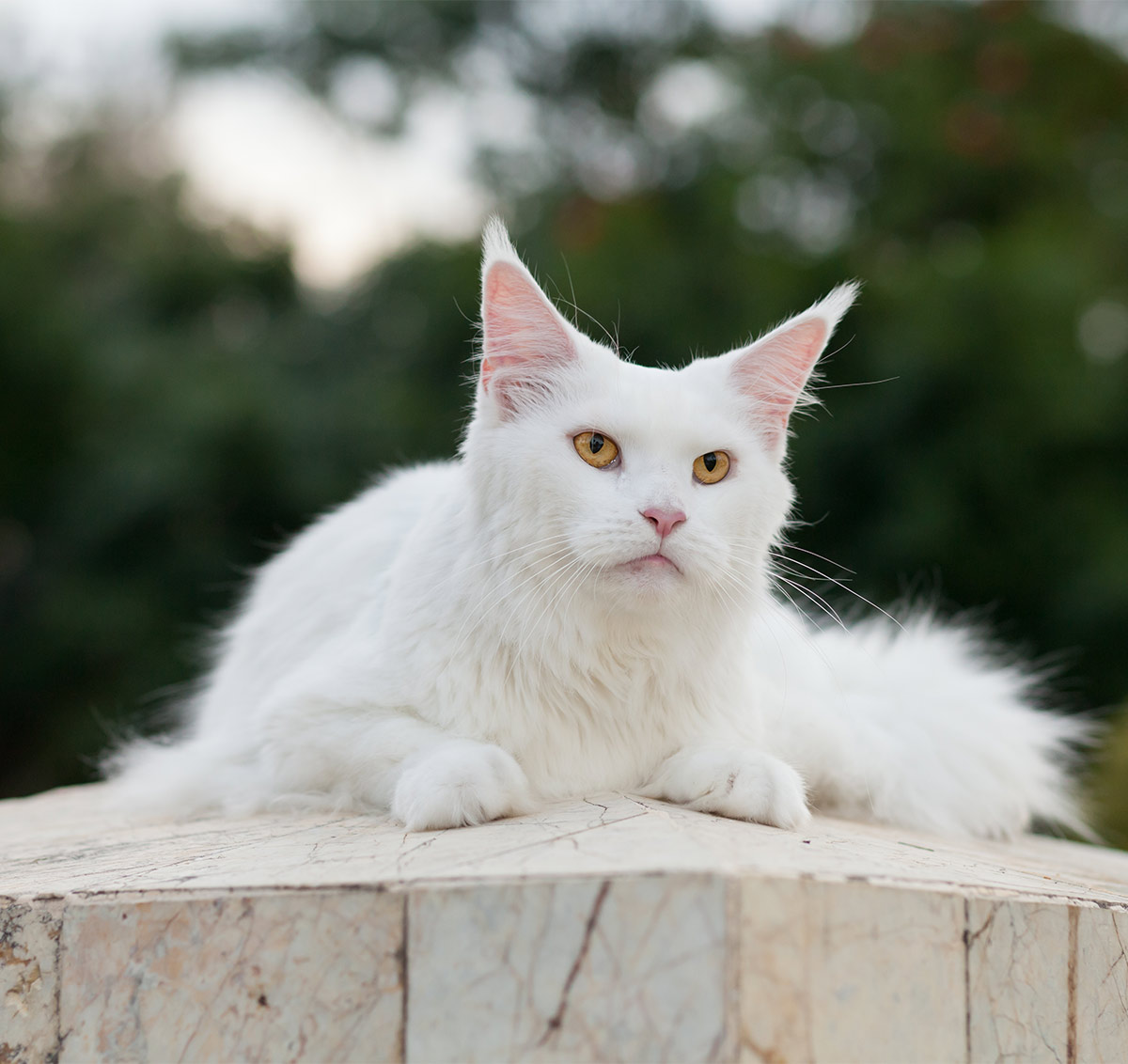 Can Maine Coon Cats Really Be White?