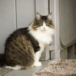Do All Maine Coon Cats Have Ear Tufts?