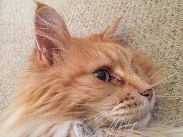 Do All Maine Coons Have Lynx Tips?