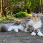 Do Maine Coons Have Big Paws?