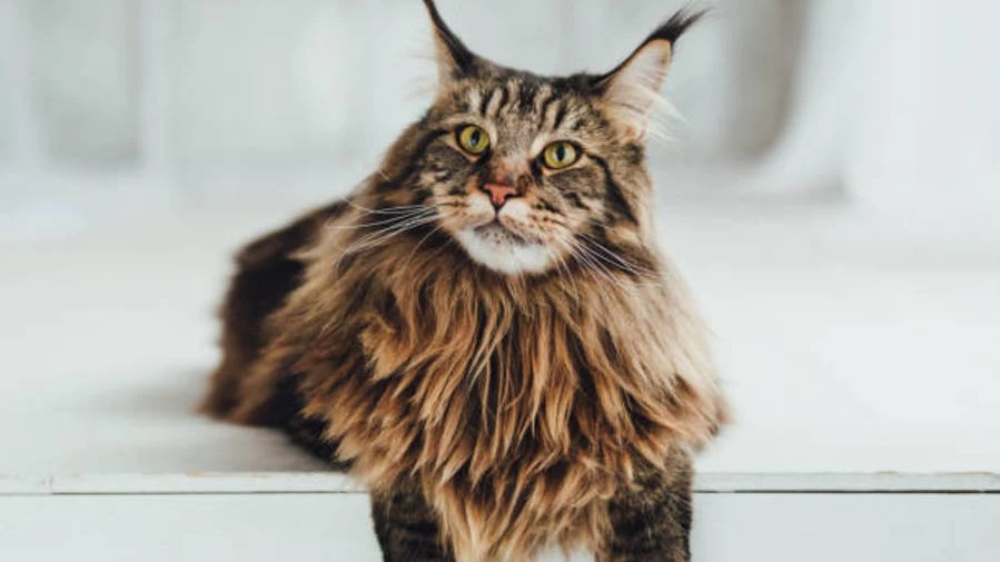Do Maine Coons Have Oily Fur?