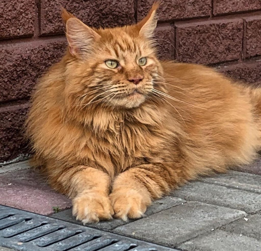 Do all Maine Coons have six toes?
