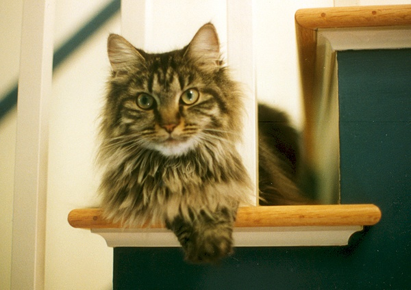 How Long Does It Take For Maine Coons Hair To Grow Back?