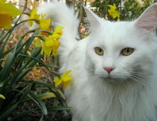 How To Help Your Maine Coon Cats Live Longer