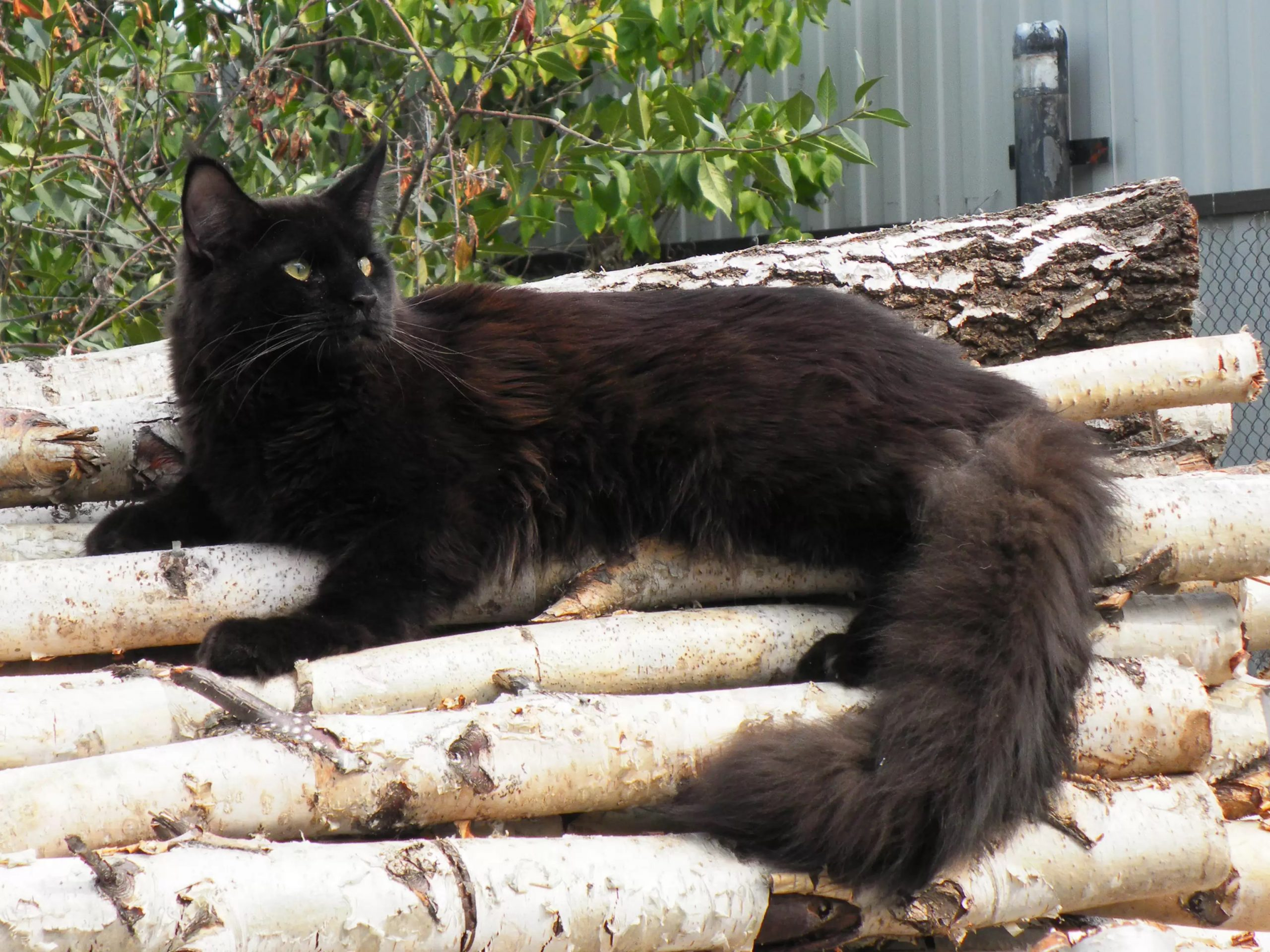 How To Identify A Black Maine Coon Cat