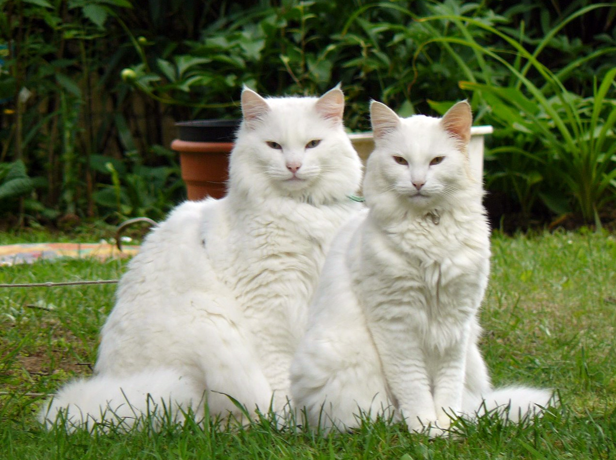 How to Care For A White Maine Coon Cat