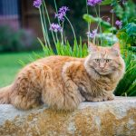 Maine Coon Life Expectancy