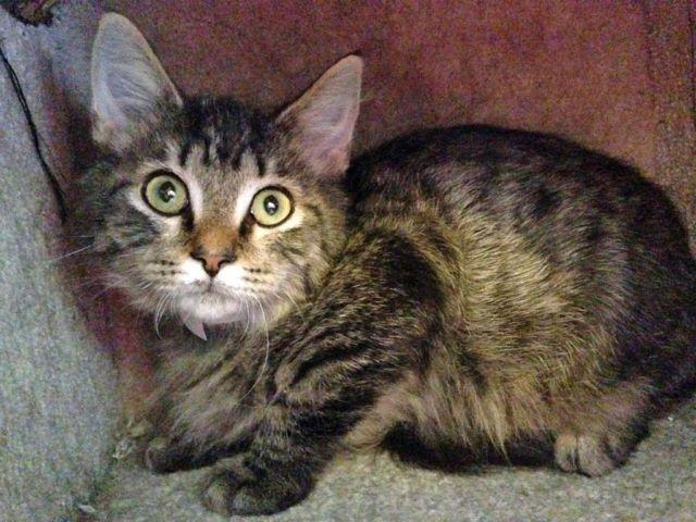 Maine Coon Tabby Mix Size