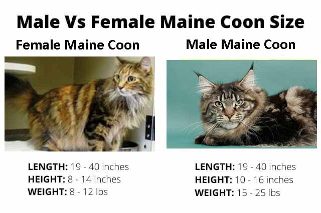 Male vs. Female Maine Coon Size