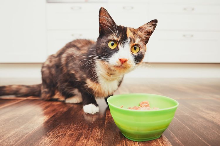 Tips for finding the best meals for your Maine Coon