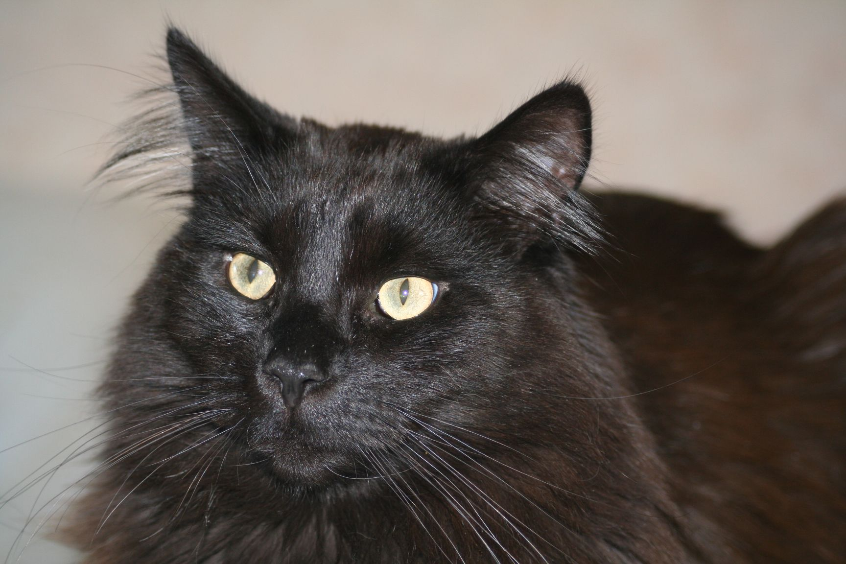 Types Of Black Maine Coon Cats