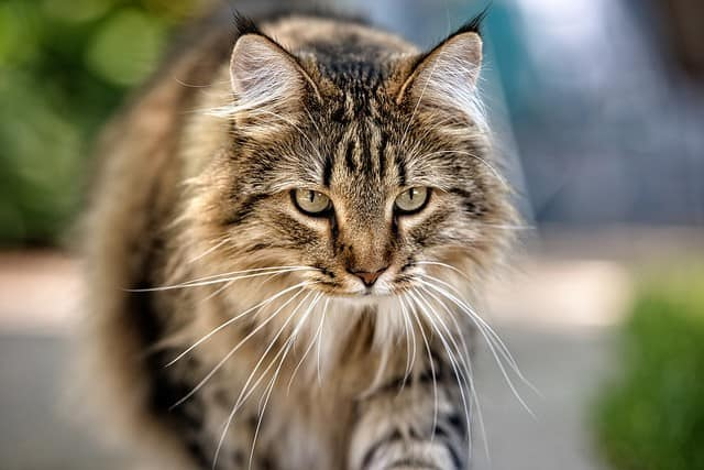 What Affects A Maine Coon's Life Expectancy?