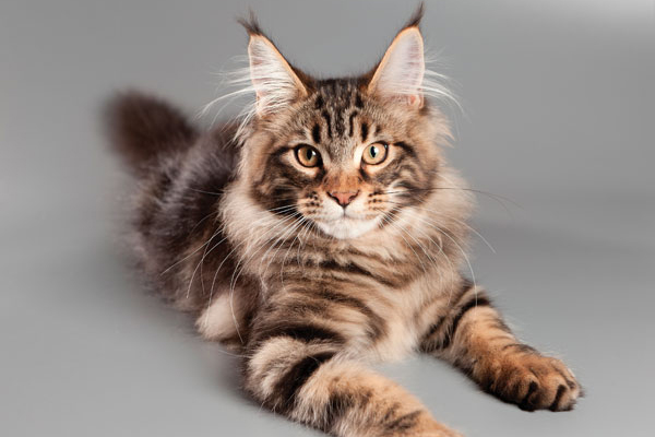 What Color Are Maine Coon Ear Tufts?