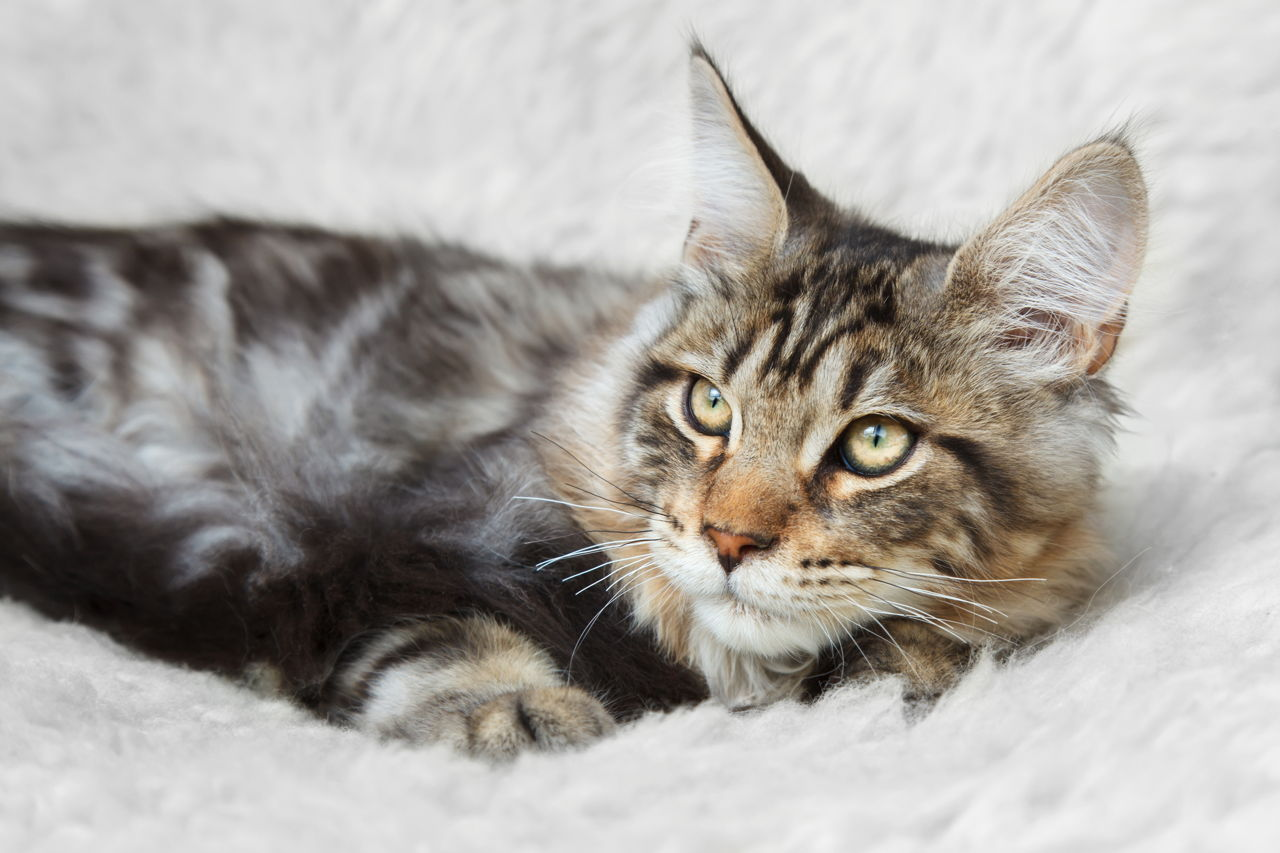 What Is the Difference Between A Maine Coon Cat and A Tabby Cat?