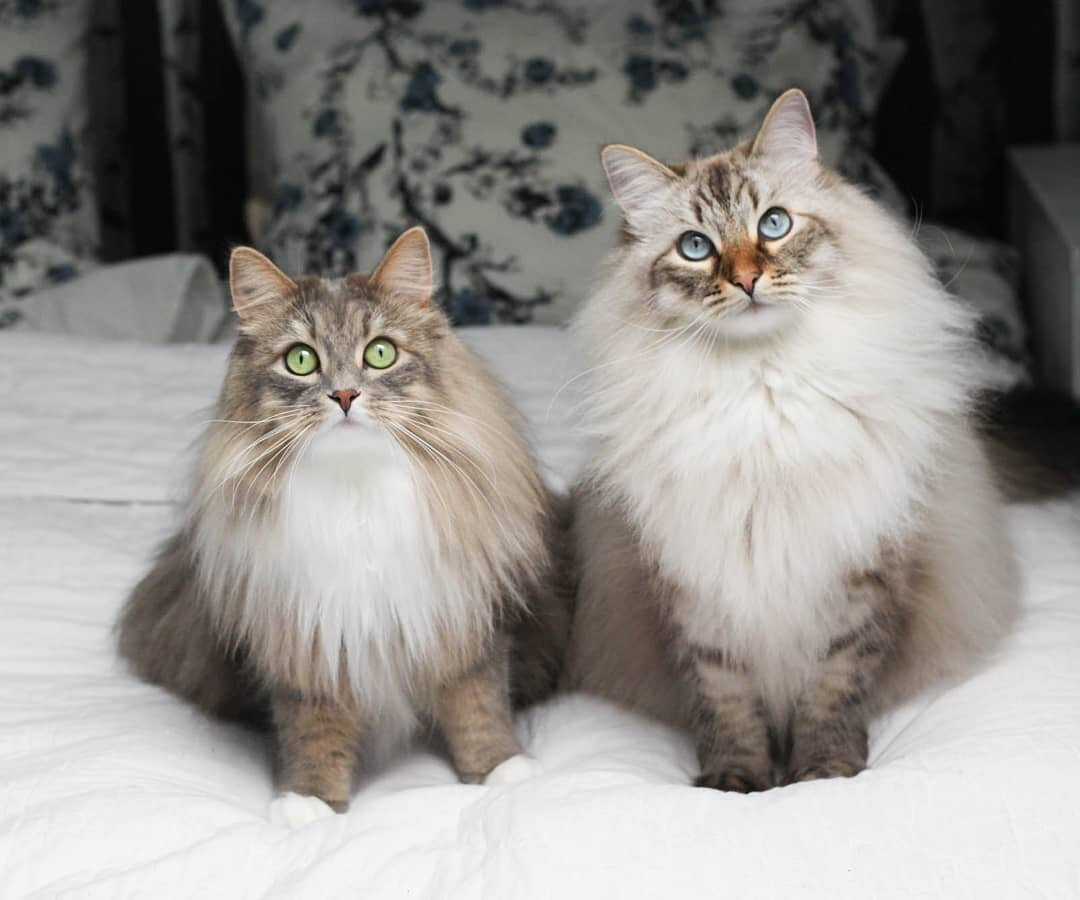 What is the difference between a Maine Coon and a Siberian cat