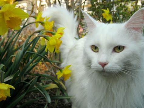 Where To Buy A White Maine Coon Cat