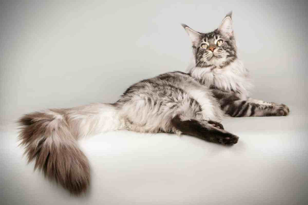 Why Are Maine Coon Cats So Big