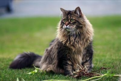 Why Do Maine Coon Cats Cry At Night?