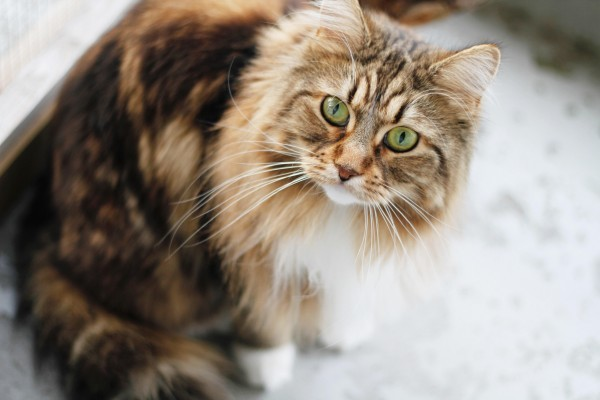 Why Do Maine Coons Need Their Fur Not A Lion Cut
