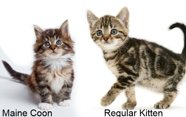 difference between Main Coon and Normal Cat