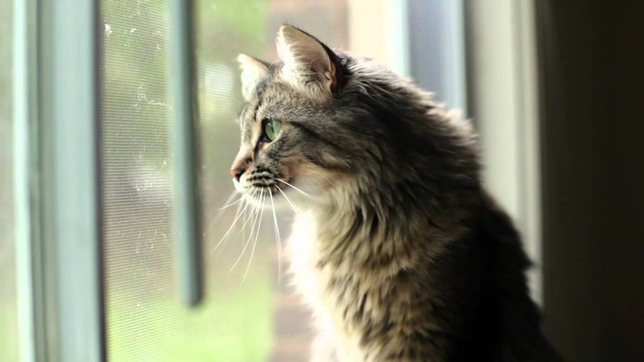 Are Maine Coons Very Vocal?