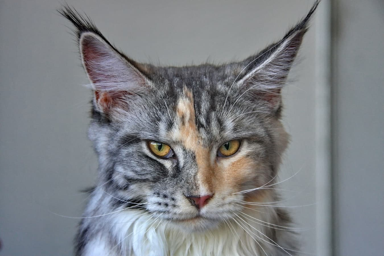 Cost Of Owning A Maine Coon