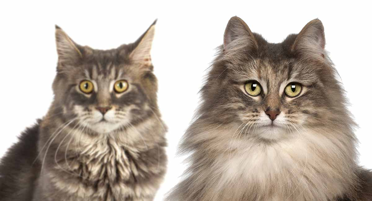 Differences Between The Domestic Longhair Vs. Maine Coon