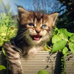 Do Maine Coon Cats Meow A Lot?