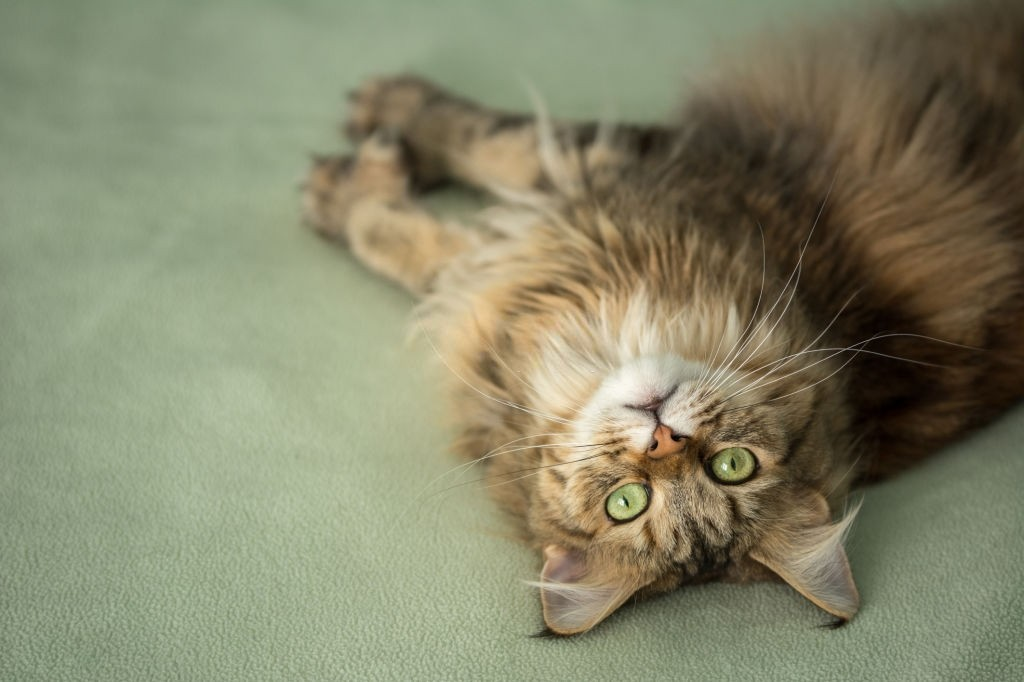 Do Maine Coons Shed A Lot?