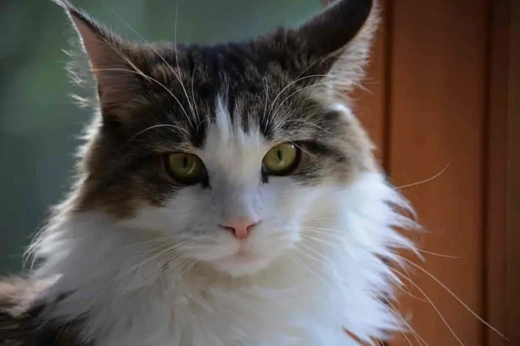 Factors Affecting The Price Of Maine Coons