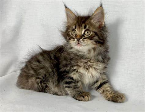 Health Issues Of Maine Coon Bengal Mix