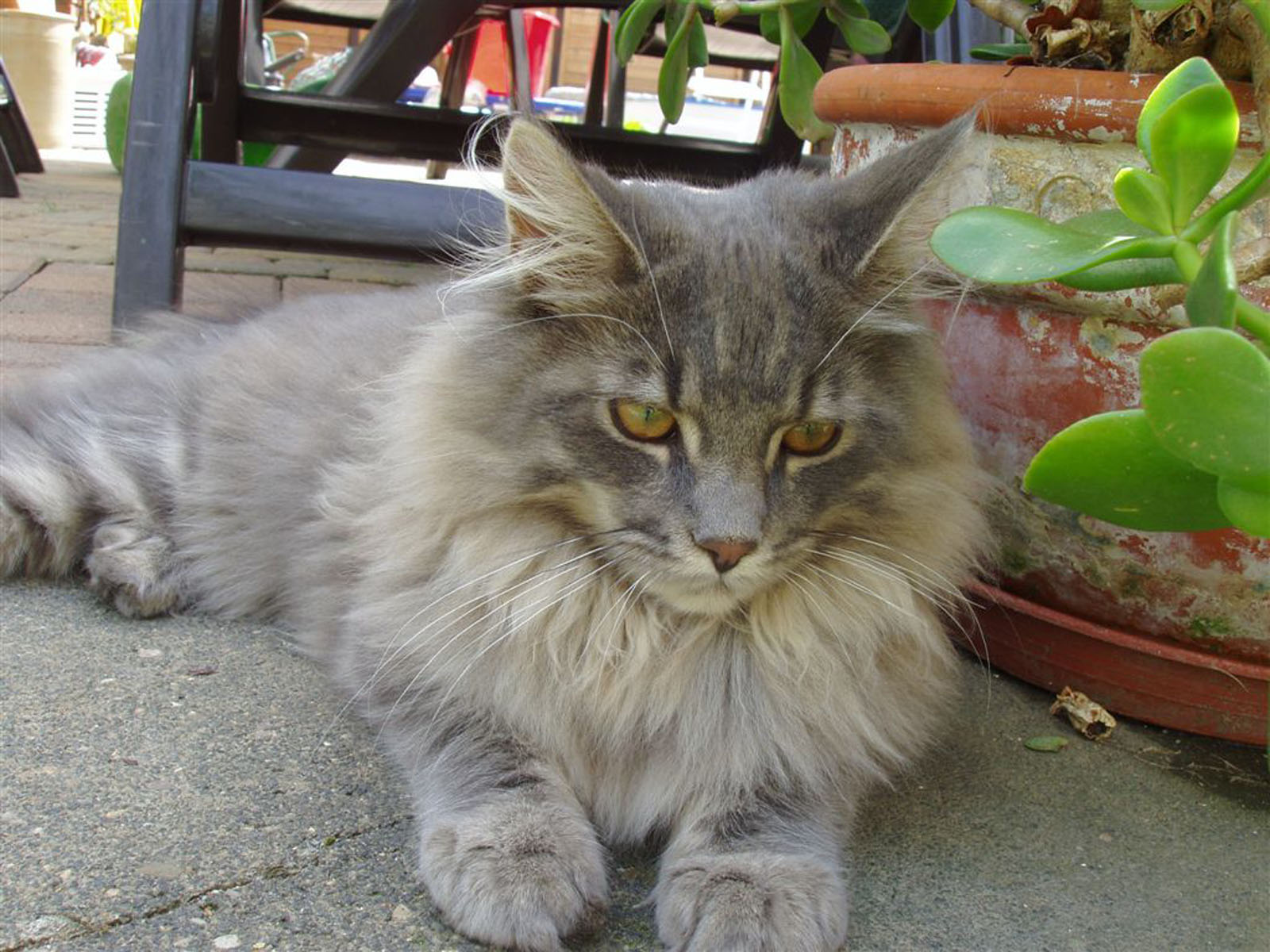 How To Care For A Silver Maine Coon
