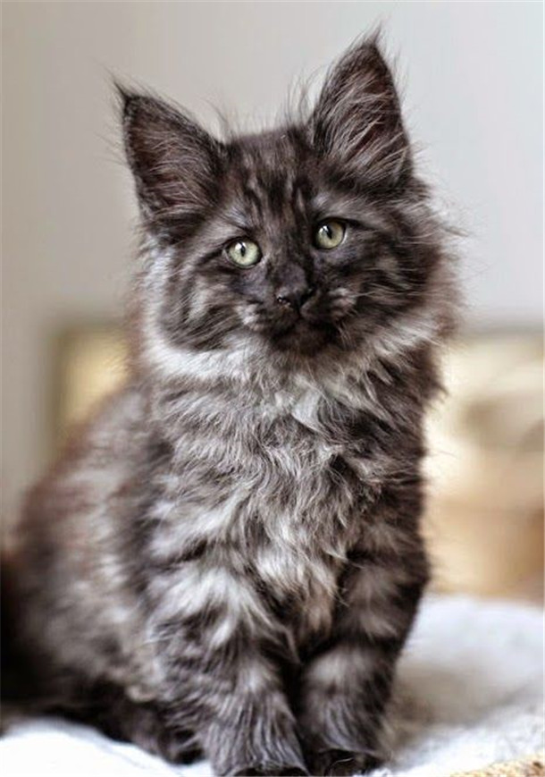 How To Identify Grey Maine Coons