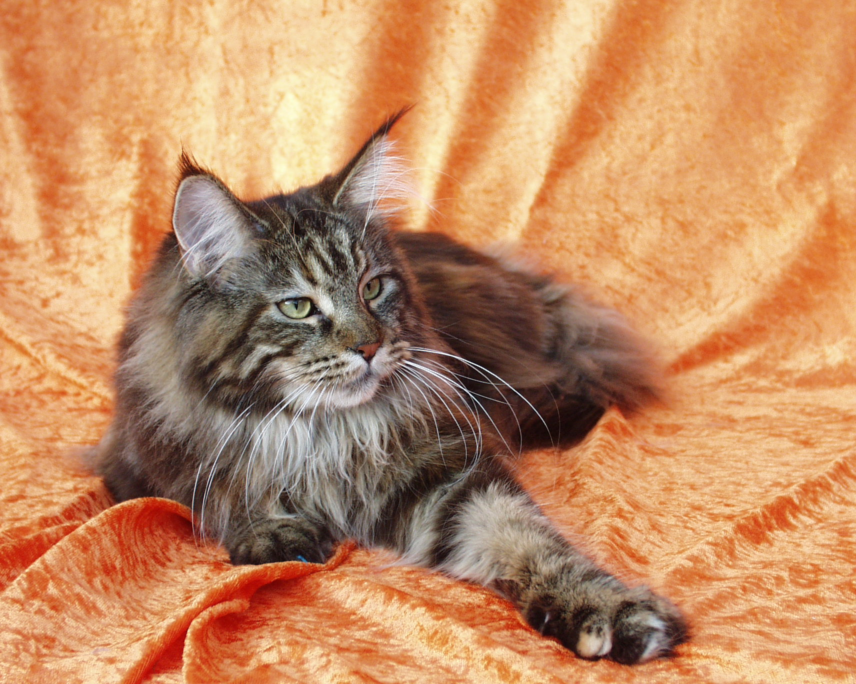 How To Tell If Your Cat Is A Maine Coon Purebred Or Mix?