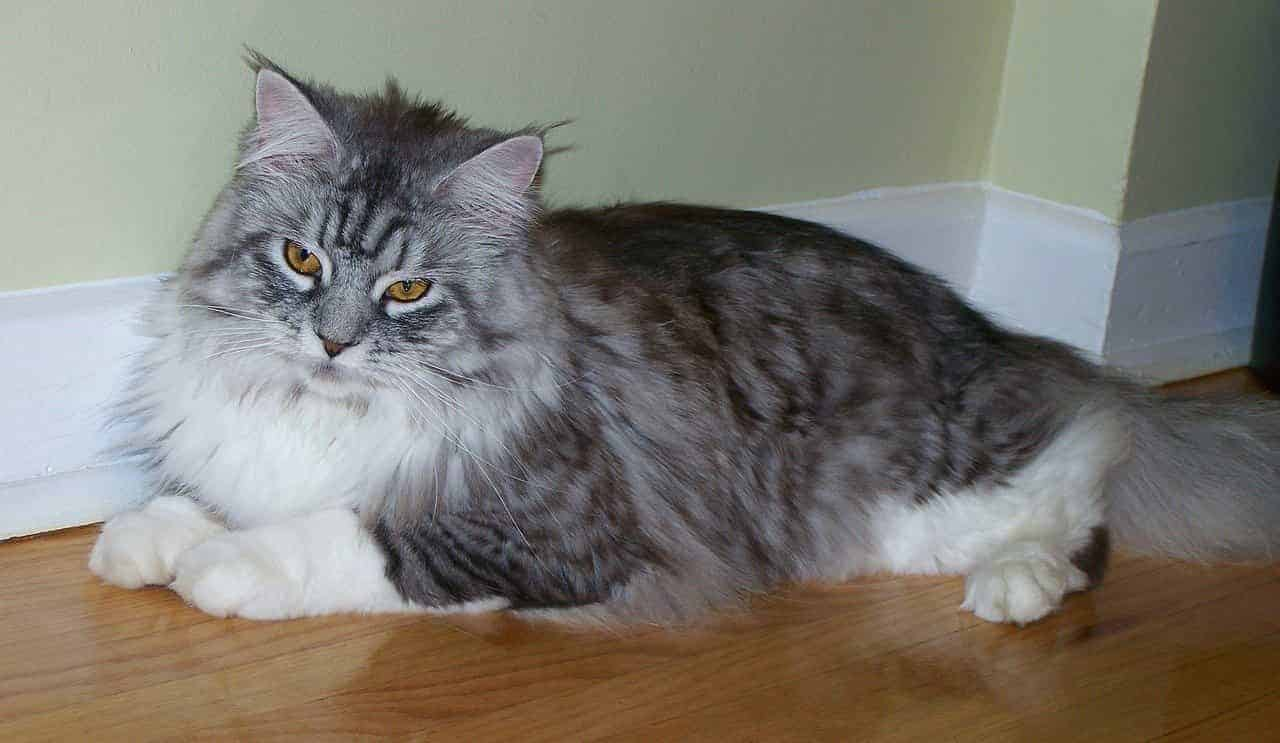 How friendly are Maine Coon cats?
