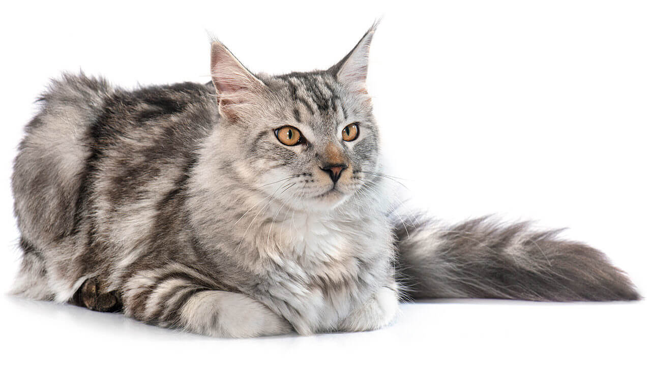 Silver Maine Coon Size