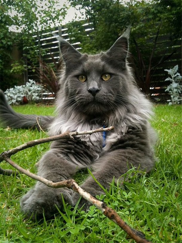 The Color Classes Of Grey Maine Coon