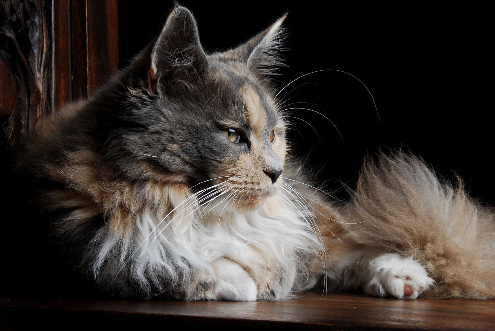 The Personality Of Calico Maine Coons