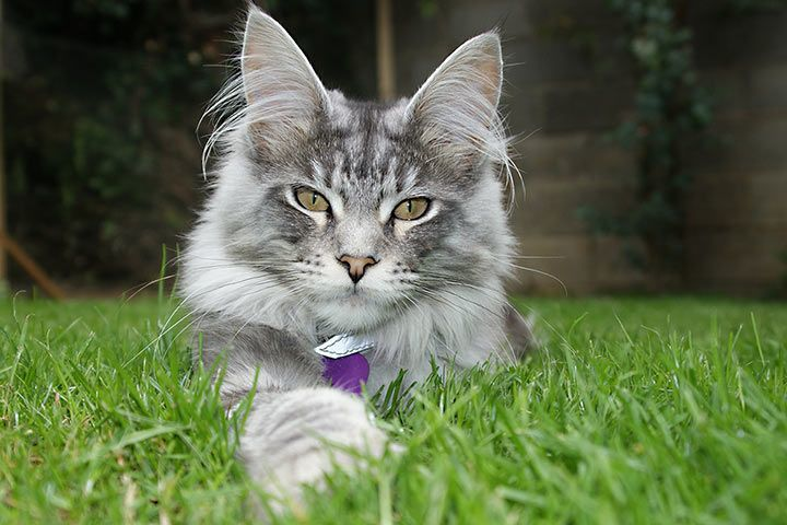 What To If Your Maine Coon Cats Meow A Lot?