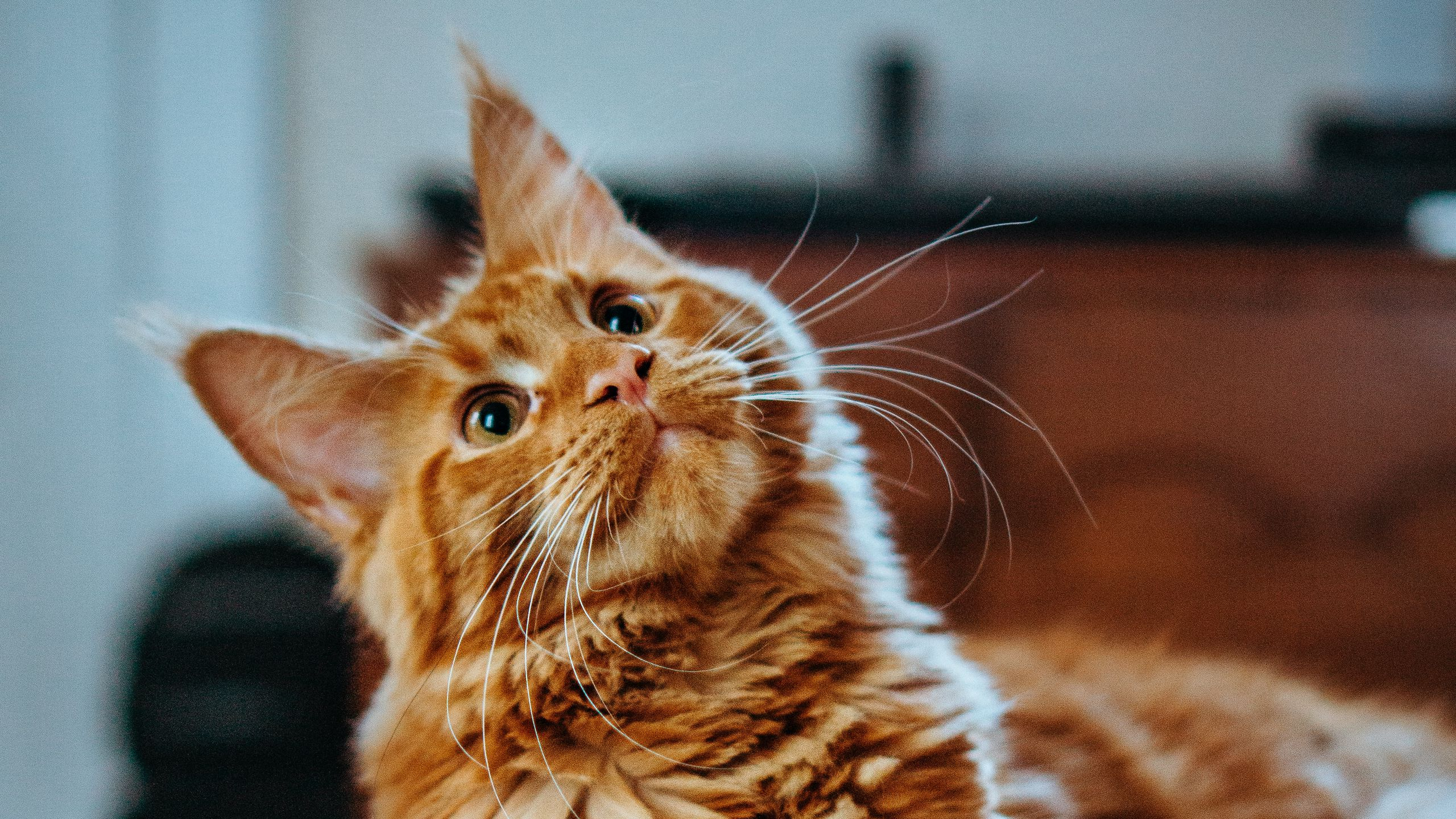 When Will Your Maine Coon Get Fluffy?