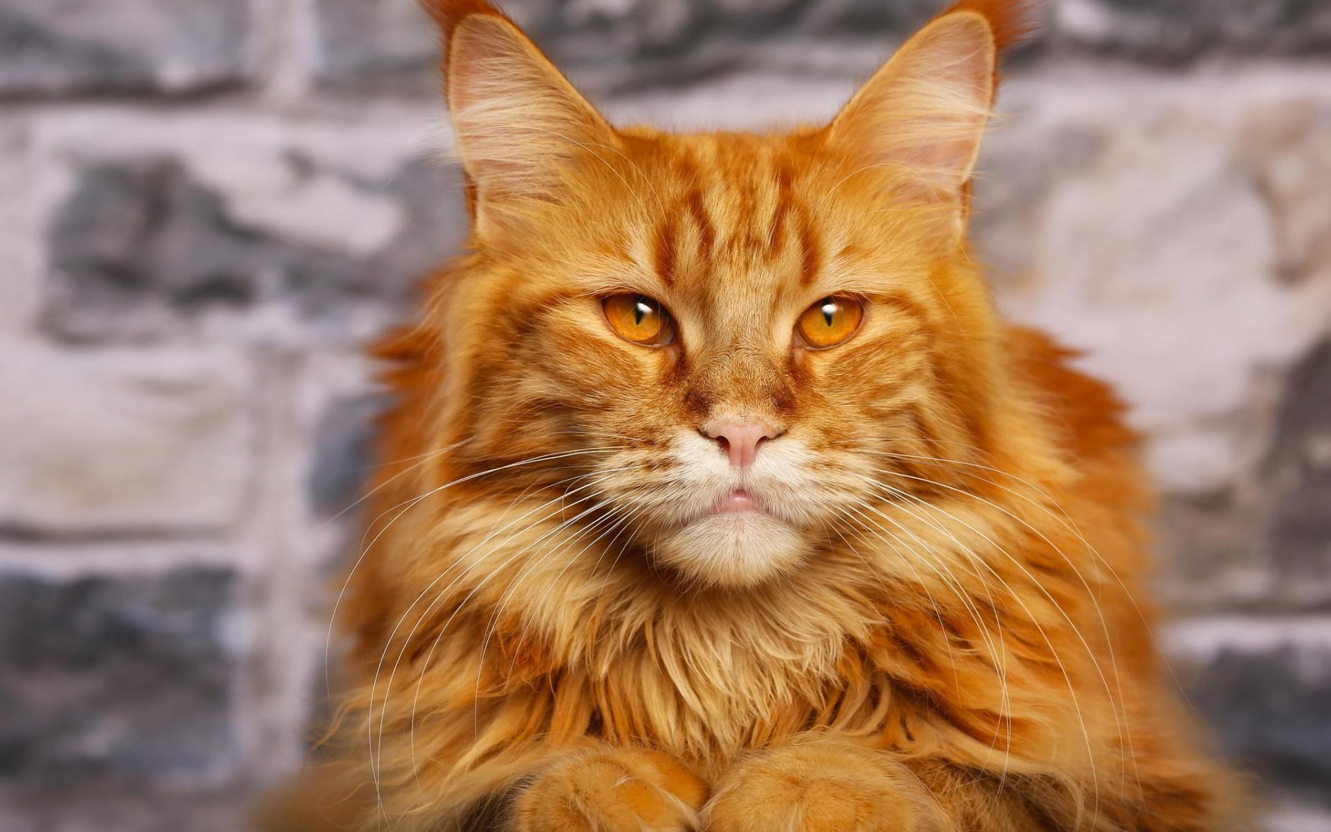 Where Do You Find Orange Maine Coon Kittens For Sale?