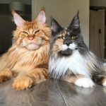 Why Are Maine Coons So Expensive?
