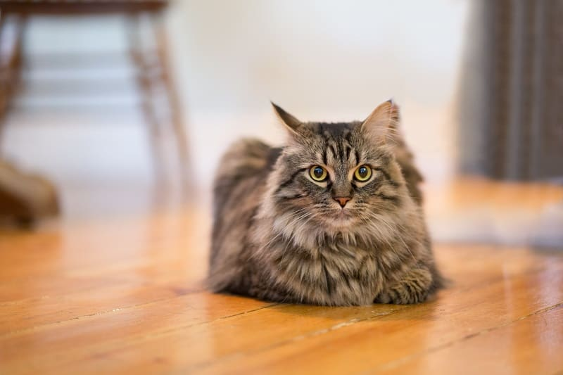 Why Do Maine Coon Cats Chirp?