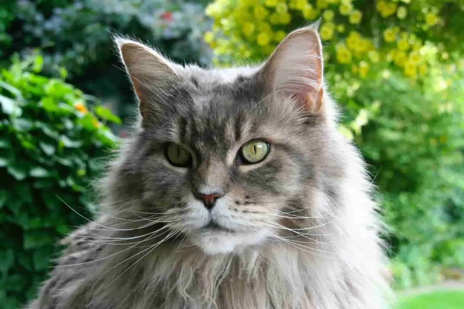Why Do Maine Coon Cats Meow So Much?