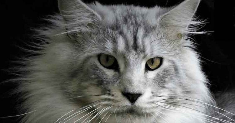 Why Do You Get a Silver Maine Coon?