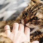 Why Does My Cat Lick Me Then Attack Me?